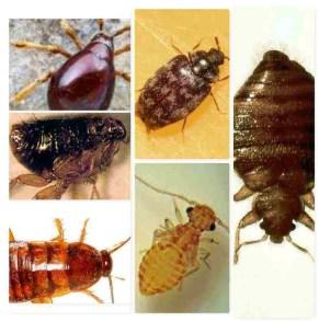 insectes ressemblant aux punaises de lit2