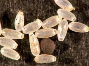 œufs de punaise de lit: Comment s'en débarrasser définitivement