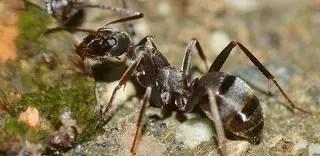 Piqûre de fourmi: traitement naturel et recettes de grand-mère