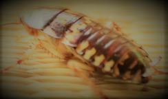 striped cockroach