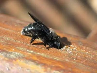 comment se débarrasser des abeilles charpentières