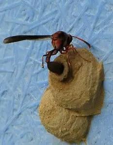 une guêpe qui met son œuf dans son nid en argile