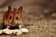 comment savoir si on a une souris chez soi