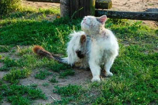 un chat avec des puces