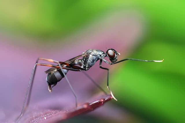 une fourmi volante