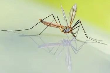 Quelle est la durée de vie d'un moustique ?