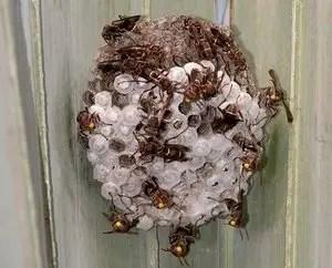 nid de guêpe poliste