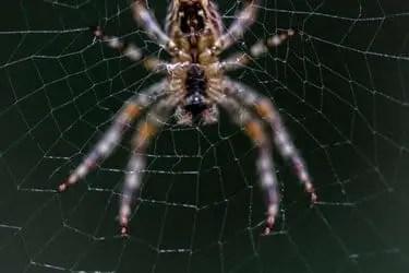 Comment soigner une piqûre d'araignée?
