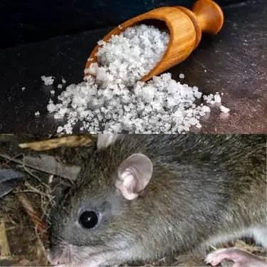 comment tuer un rat avec du sel