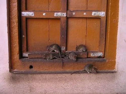 les rats dans un temple indien