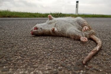Liste des maladies transmises par les rats