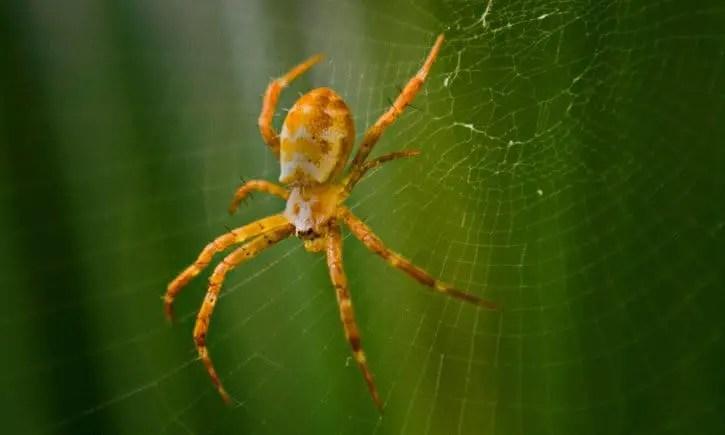 une araignée jaune