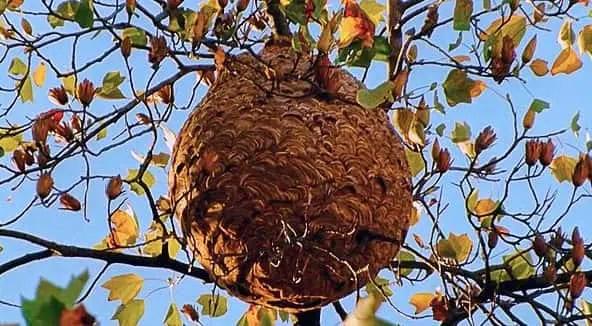 Comment détruire un nid de frelon asiatique