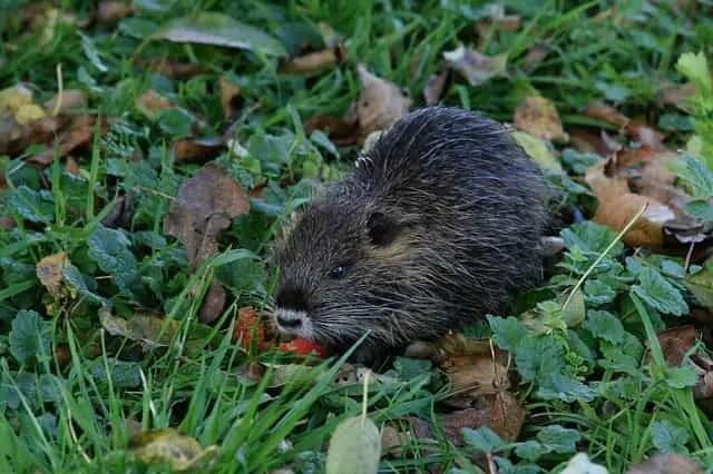 un rat musqué