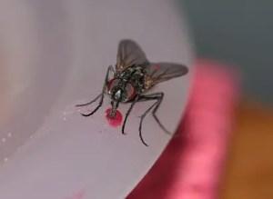liste des espèces de mouches: connues en France & dans le monde