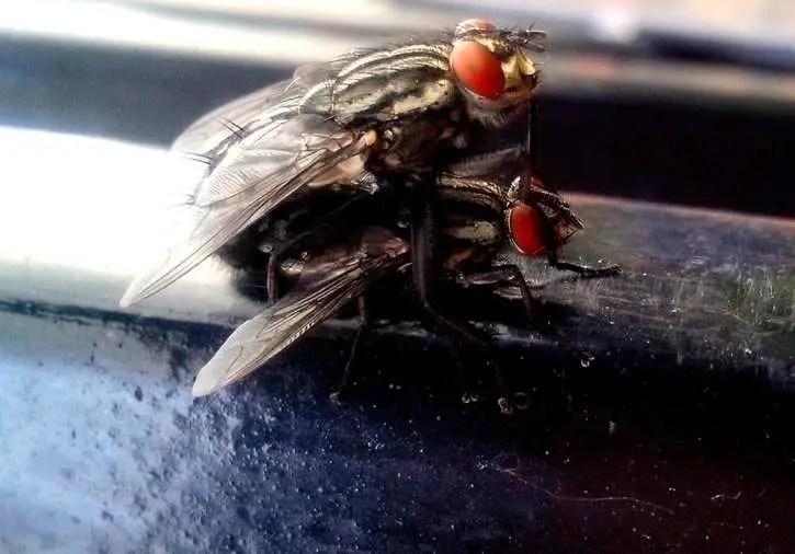 reproduction des mouches
