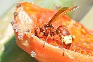 Frelon vespa orientalis (frelon oriental): tout savoir
