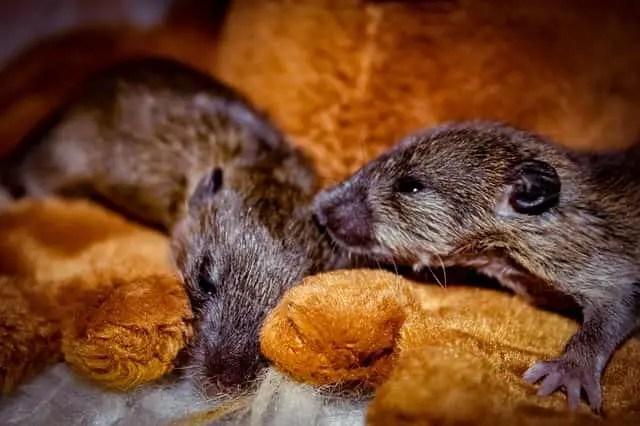 Comment se débarrasser des souris  dans le grenier