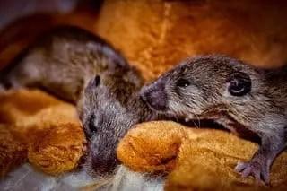Comment se débarrasser des souris dans le grenier ?