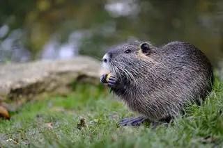 Techniques pour piéger les rats musqués