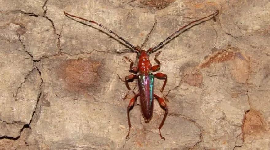 Cordylomera spinicornis