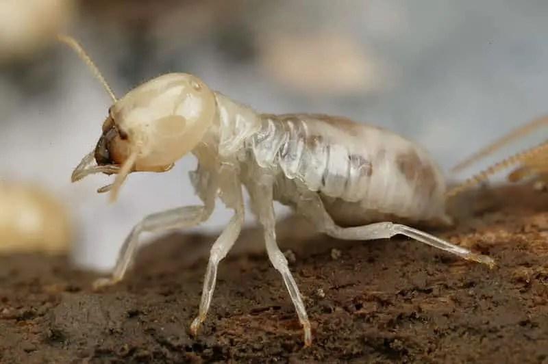 Comment se débarrasser des termites dans une maison naturellement