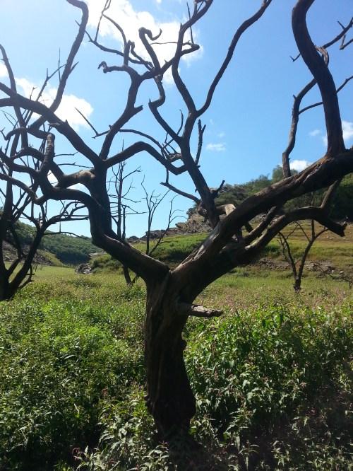 Un arbre pétrifié au bord du Blavet, à Guerlédan. (août 2015)