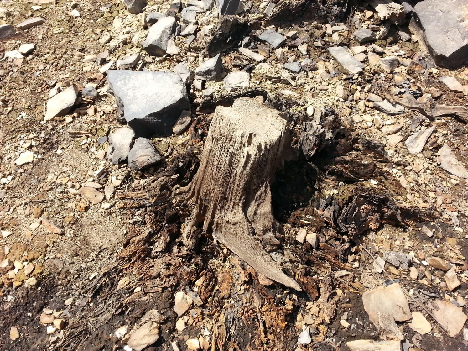 Une souche d'arbre pétrifiée par l'eau. (mai 2015)