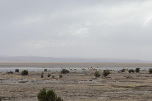 2016-07-04 Troupeau de vigognes près de la lagune de Pozuelos
