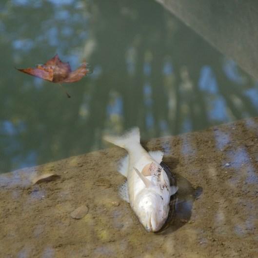 Poisson mort au bord du canal du Midi