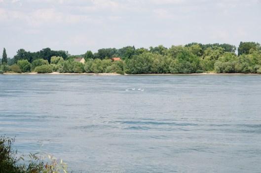 Cygnes sur le Rhin