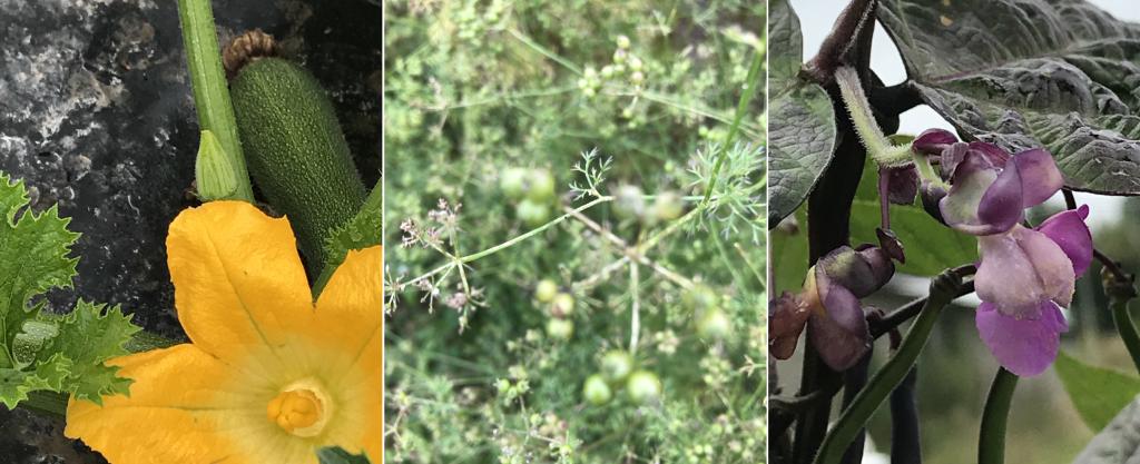 PDT-2018-La Fabrique du Potager-Fleurs de légumes-Les Papotis de Thalie