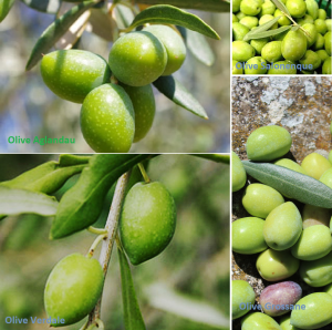 PDT-2018-Moulin Castelas-4 varietes-Olive