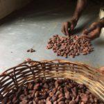 Calibrage des fèves