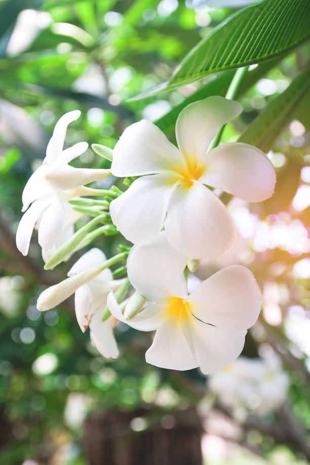 fleurs de tiaré Tahiti
