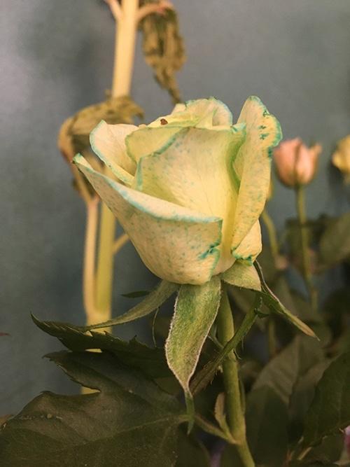 Les enfats font des expériences sur la capillarité et les plantes avec du colorant