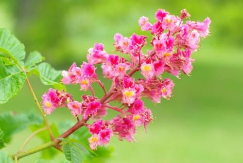 peurs fleurs de bach
