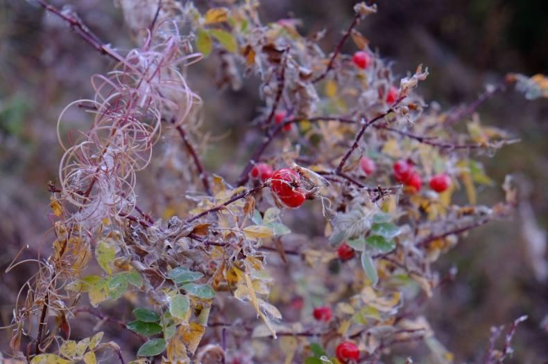 cynorhodon champsaur automne