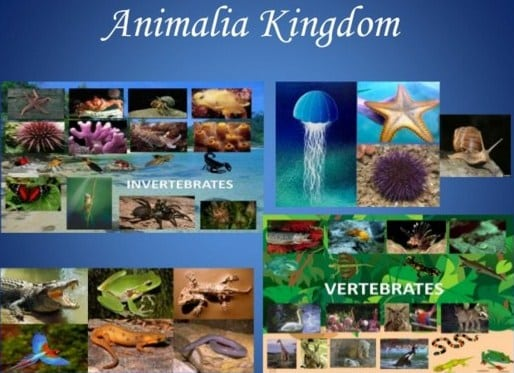 les privat surabaya - kingdom animalia