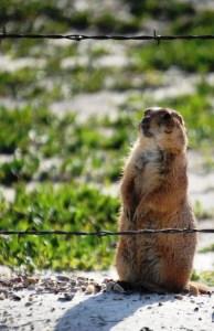 Prairie Dog -- standing watch in Cactus Flats