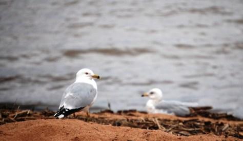 Gulls relax on the beach of Lake Superior near Ashland, WI