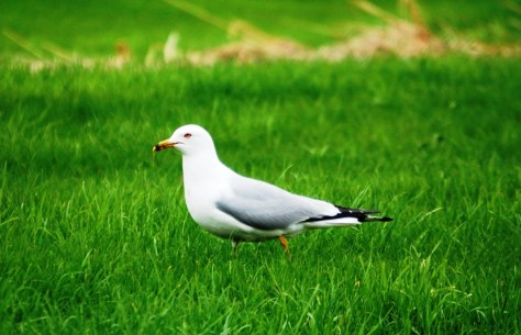 A seagull rests comfortably in the grass of a park next to Lake Superior