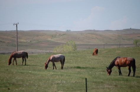 Horses grazing on a ranch east of Malta, Montana