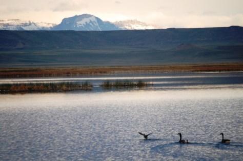 Geese enjoy an early morning swim in Freezeout Lake