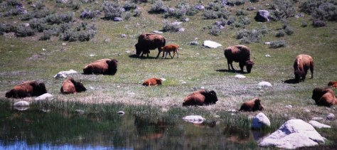 Bison and calves relax by a lake