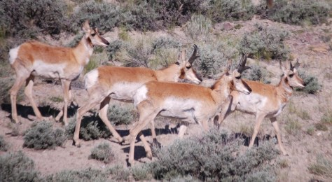 One more nice wildlife shot of antelope on WY 120