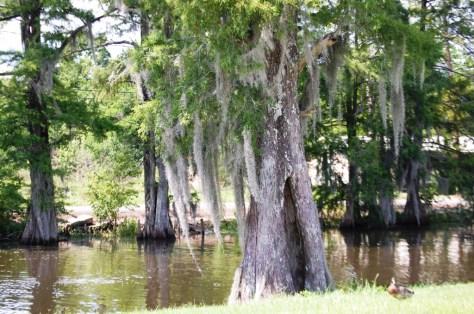 Bayou swamps abound in Pierre Part, LA