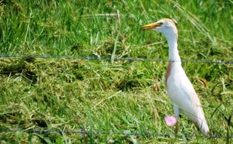 Egret on the prowl in Pierre Part, LA