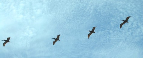 Brown Pelicans in formation overhead.  So graceful in flight