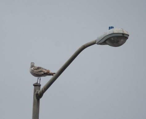A young seagull has his own perch on a light pole